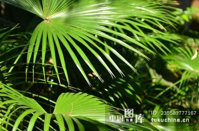 棕树 棕叶图片